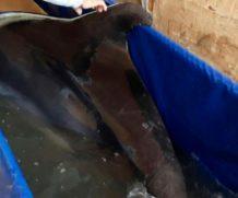 Редчайших черноморских афалин спасли пограничники в Крыму